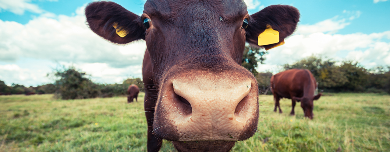 Beef Cattle Services at McGregor Veterinary Services