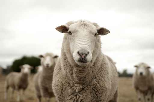 Ruminants at McGregor Veterinary Services