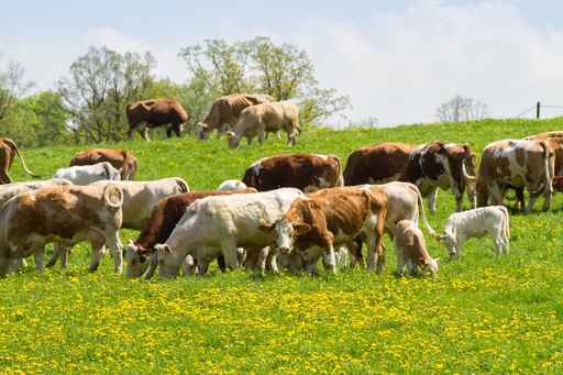Beef Cattle at McGregor Veterinary Services