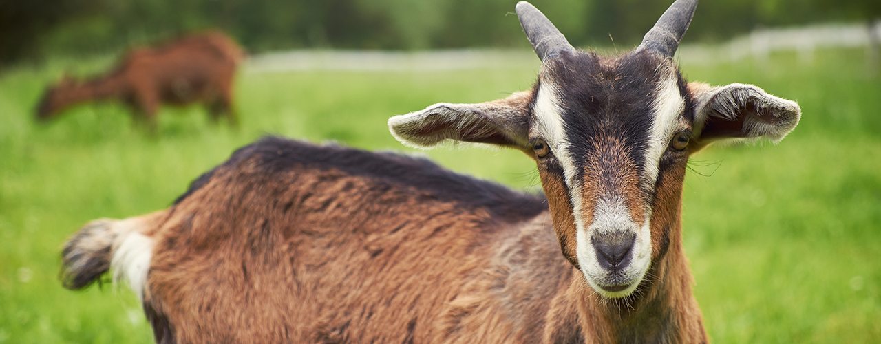 Small Ruminant Services at McGregor Veterinary Services